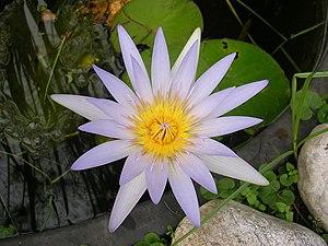 Fiore nello Stagno