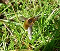 First Bee Fly. Bombylius major - Flickr - gailhampshire.jpg