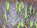 First Signs of Spring^ - geograph.org.uk - 138915.jpg