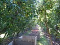 First fruit cosecha - panoramio.jpg