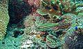 Five-lined Cardinalfish (Cheilodipterus quinquelineatus) (6096754473).jpg