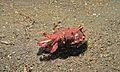 Flamboyant Cuttlefish (Metasepia pfefferi) (6059304763).jpg