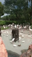 File:Flamingos at Disney's Animal Kingdom Lodge (36556953892).webm