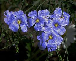 Flax flowers Linum Usitatissimum