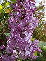 Fleurs de lilas mauve à Grez-Doiceau 002.jpg
