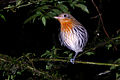 Flickr - ggallice - Roosting bird.jpg