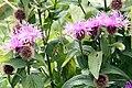 Flockenblume (Centaurea) IMG 6745.JPG