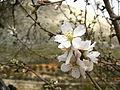 Flor del almendro.JPG
