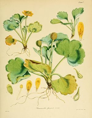 Flora of Lord Auckland and Campbell's Islands - Ranunculus pinguis (Plate I)