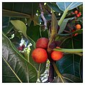 Flora of Florida-Ficus benghalensis 01.jpg