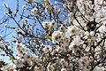 Flora of Israel IMG 8325 (13442712683).jpg