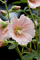 Flower, Hollyhock - Flickr - nekonomania.jpg