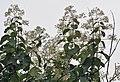 Flower, fruit & leaves (Tectona Grandis) I IMG 8818.jpg