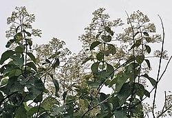 Flower, fruit & leaves of Tectona grandis in Kolkata, West Bengal, India.