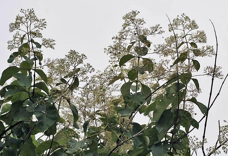 Flower, fruit & leaves (Tectona Grandis) I IMG 8818