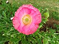Flower in Nishat Bagh Garden - Srinagar - Jammu & Kashmir - India (26237399944).jpg