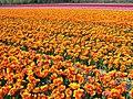 Flowerfields near Noordwijk (Netherlands 2007) (2475754021).jpg