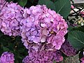 Flowers of Hydrangea macrophylla 20180615.jpg