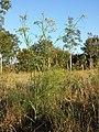 Foeniculum vulgare sl2.jpg