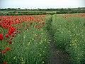 Footpath through oilseed rape field - geograph.org.uk - 847659.jpg
