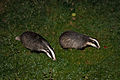 Foraging badgers.jpg