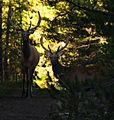 Forest Elk (4841665987).jpg