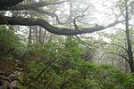 Forest in Yakushima 58.jpg