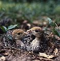 Four-week-old wild turkey poults at Fisheating Creek in Glades County, Florida (11085046256).jpg