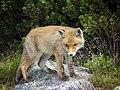 Fox puppy.jpg