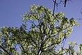 Fraxinus excelsior (27172064307).jpg