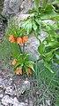 Fritillaria - لاله واژگون.jpg
