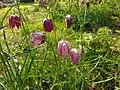 Fritillaria meleagris 121841115.jpg