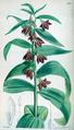 Fritillaria sewerzowi CBM.png
