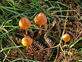 Fungi near Hay Tor - geograph.org.uk - 1015336.jpg