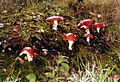 Fungi on The Plain in Epping Forest - geograph.org.uk - 384080.jpg