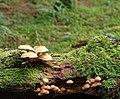 Fungus, Drumkeeragh forest (9) - geograph.org.uk - 1463941.jpg