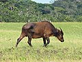 Gabon Loango National Park Wild Buffalo Single.jpeg