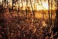 Gagel (Myrica gale) im Naturschutzgebiet Elmpter Schwalmbruch.jpg