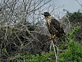 Galapagos hawk - Flickr - pellaea.jpg