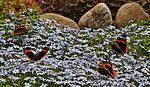 Garden colours IMG 0234 (14441903452).jpg