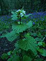 GarlicMustard April 2008.jpg