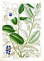 Gaultheria leschenaultii Govindoo.jpg
