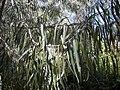 Geijera parviflora foliage.jpg