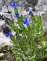 Gentiana nivalis a1.jpg