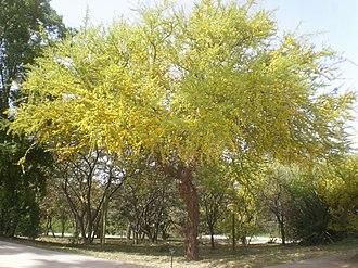 Geoffroea decorticans - Geoffroea decorticans in bloom.