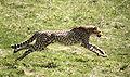 Gepardjagt2 (Acinonyx jubatus).jpg
