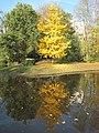 Ginkgo reflections.jpg