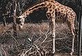 Giraffe chilling.jpg