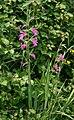Gladiolus italicus 1.jpg