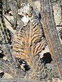 Glandulicereus thurberi (5782279069).jpg